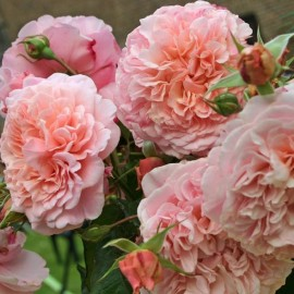 Rose de Tolbiac (Роуз де Толбиак), Kordes
