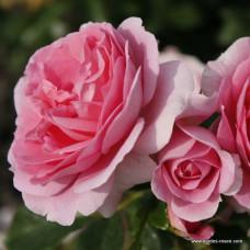 Розы флорибунда  Kordes (Кордес), Германия Rosenfee (Розенфи), Kordes