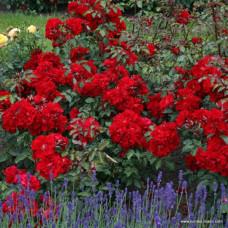 Кустовые розы (шрабы)  Kordes (Кордес), Германия Roter Korsar (Ротер Корсар), Kordes