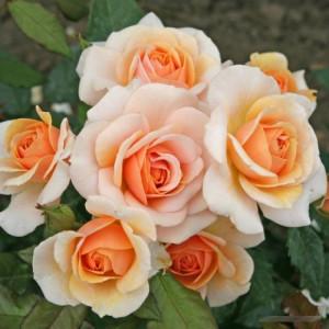 Розы флорибунда  Kordes (Кордес), Германия Sweet Honey (Свит Хани), Kordes