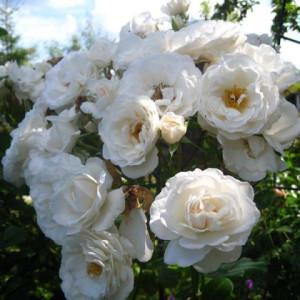 Кустовые розы (шрабы)  Kordes (Кордес), Германия Iceberg, Schneewittchen (Айсберг, Шнеевитхен), Kordes