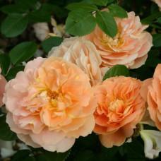 Розы флорибунда  Kordes (Кордес), Германия Schone Vom See (Шоне Вом Зее), Kordes