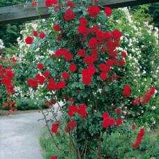 Плетистые розы  Kordes (Кордес), Германия Sympathe (Симпати), Kordes
