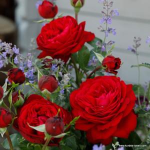 Чайно-гибридные розы  Kordes (Кордес), Германия Tiamo (Тиамо), Kordes