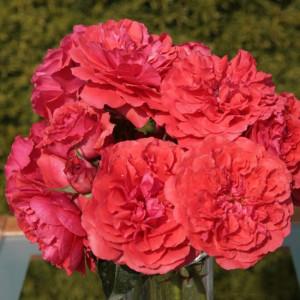 Кустовые розы (шрабы)  Kordes (Кордес), Германия Uetersens Rosenkonigin (Ютерзенс Розенконигин), Kordes