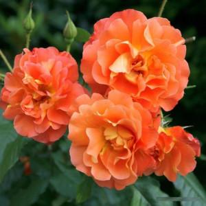 Кустовые розы (шрабы)  Kordes (Кордес), Германия Westerland (Вестерленд), Kordes