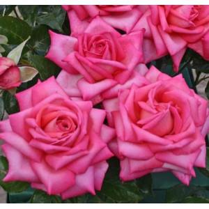 Чайно-гибридные розы  Kordes (Кордес), Германия Wedding Bells (Веддинг Беллс), Kordes