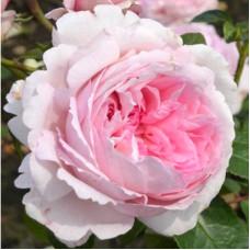 Кустовые розы (шрабы)  Kordes (Кордес), Германия Alexandra-Princesse De Luxembourg (Алексанра Принцесса Люксембурга), Kordes