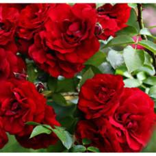 Плетистые розы  Kordes (Кордес), Германия Amadeus (Амадеус), Kordes