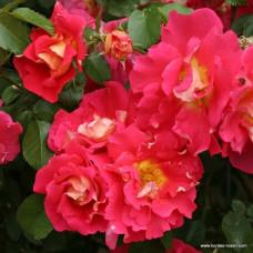 Плетистые розы  Kordes (Кордес), Германия Bajazzo (Баяццо), Kordes
