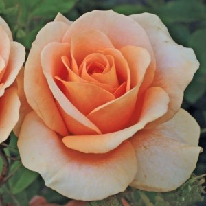 Розы флорибунда  Kordes (Кордес), Германия Bengali (Бенгали), Kordes