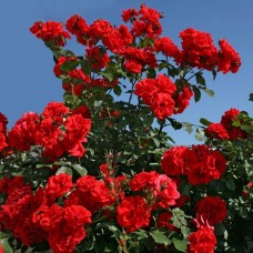 Кустовые розы (шрабы)  Kordes (Кордес), Германия Brillant Korsar (Бриллант Корсар), Kordes