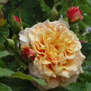 Кустовые розы (шрабы)  Kordes (Кордес), Германия Caramella (Карамелла), Kordes
