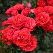 Розы флорибунда  Kordes (Кордес), Германия Cherry Girl (Черри Гёрл), Kordes
