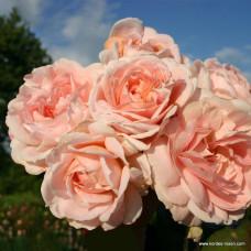 Розы флорибунда  Kordes (Кордес), Германия Cremosa (Кремоза), Kordes