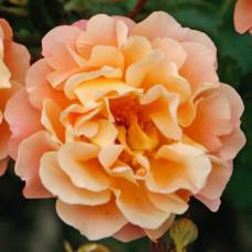 Кустовые розы (шрабы)  Kordes (Кордес), Германия Cubana (Кубана), Kordes