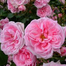 Розы флорибунда  Kordes (Кордес), Германия Home and Garden (Хоум энд Гарден), Kordes