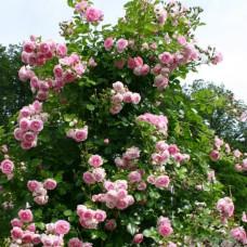 Плетистые розы  Kordes (Кордес), Германия Jasmina (Жасмина), Kordes