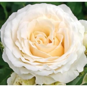Розы флорибунда  Kordes (Кордес), Германия Kosmos (Космос), Kordes