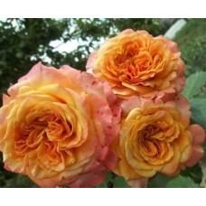 Кустовые розы (шрабы)  Kordes (Кордес), Германия La Villa Cotta (Ла Витта Котта), Kordes