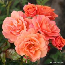 Кустовые розы (шрабы)  Kordes (Кордес), Германия Lambada (Ламбада), Kordes
