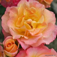 Кустовые розы (шрабы)  Kordes (Кордес), Германия Landlust (Лэндлуст), Kordes