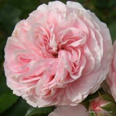 Кустовые розы (шрабы)  Kordes (Кордес), Германия Larissa (Ларисса), Kordes