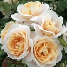 Розы флорибунда  Kordes (Кордес), Германия Lions-Rose (Лайонс Роуз), Kordes
