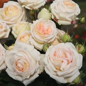 Чайно-гибридные розы  Kordes (Кордес), Германия Madame Anisette (Мадам Аниcетт), Kordes
