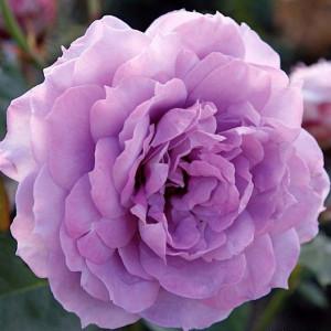 Розы флорибунда  Kordes (Кордес), Германия Novalis (Новалис), Kordes
