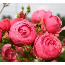 Розы флорибунда  Kordes (Кордес), Германия Pomponella (Помпонелла), Kordes