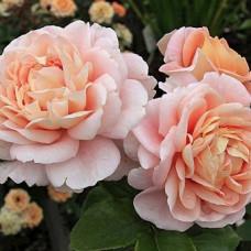 Розы флорибунда  Kordes (Кордес), Германия Sangerhauser Jubilaumsrose (Зангерхаузер Юбиляумсрозе), Kordes