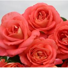 Розы флорибунда  Kordes (Кордес), Германия Sommersonne (Зоммерзонне, Соммерсон), Kordes