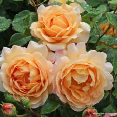 Кустовые розы (шрабы)  Kordes (Кордес), Германия Sonnenwelt (Зонненвельт), Kordes