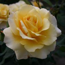 Чайно-гибридные розы  Kordes (Кордес), Германия Sunny Sky (Санни Скай), Kordes