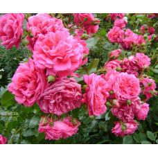 Плетистые розы  Kordes (Кордес), Германия Sweet Laguna (Свит Лагуна), Kordes