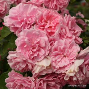 Кустовые розы (шрабы)  Kordes (Кордес), Германия Uetersens Rosenprinzessin (Ютерзенс Розенпринцессен), Kordes