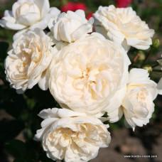 Кустовые розы (шрабы)  Kordes (Кордес), Германия Summer Memories (Саммер Мэмориз), Kordes
