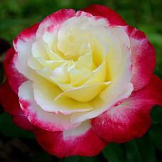 Чайно-гибридные розы Double Delight (Дабл Делайт), Swim & Ellis