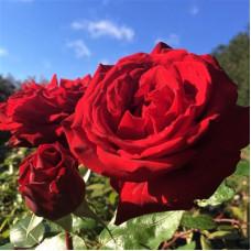 Чайно-гибридные розы Ingrid Bergman (Ингрид Бергман), Olesen