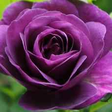 Розы флорибунда Minerva (Минерва), Martin Vissers