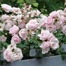 Плетистые розы New Dawn (Нью Даун), Somerset Rose Nursery