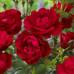 Розы флорибунда Nina Weibull (Нина Вэйбул), Poulsen
