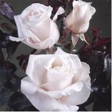 Чайно-гибридные розы Royal Copenhagen (Роял Копенгаген), Olesen