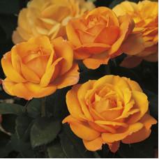 Чайно-гибридные розы Good as Gold (Гуд эз Голд), Tom Carruth