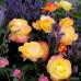 Чайно-гибридные розы  Kordes (Кордес), Германия Flaming Star (Флэминг Стар), Kordes