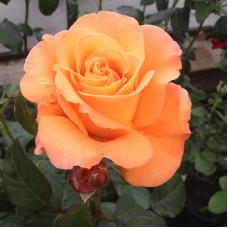 Чайно-гибридные розы Tantau (Тантау), Германия Tea Time (Ти Тайм), Tantau